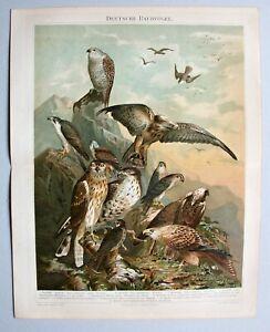 Vögel, Raubvögel - 12 Abbildungen - Chromolithographie um 1898