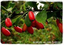 Berberis vulgaris 'European Barberry' (GA3- Gibberellic acid READY!) 35+ Seeds