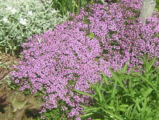 0.1g(app.700) creeping thyme seeds THYMUS SERPYLLUM One of the best groundcovers