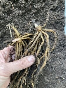5 x Asparagus Root Crowns 'Connover's Colossal' To Plant (Free UK Postage)