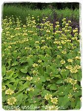 Phlomis russeliana 'Turkish Sage' 25+ SEEDS