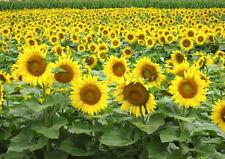 Black oil Sunflower 50 seeds * Great bird food * Non GMO* CombSH J31