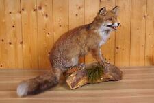 Schöner Fuchs  Fox Taxidermy mit Bescheinigung
