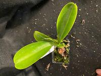 Nepenthes (thorellii x spectabilis) x campanulata. 'Hamakua EP'.  Rooted Cutting