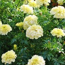 Marigold-  Tagetes Erecta- White- 25 Seeds