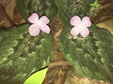 Kaempferia pulchra - Peacock Ginger - Ressurection Lily -Tropical Plant 10cm pot