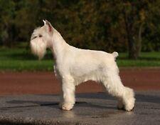 Metal Fridge Magnet White Schnauzer Standing On Marble Plate Dog Dogs
