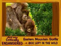 The Eastern Mountain Gorilla postcard, an Critically Endangered Animal alert