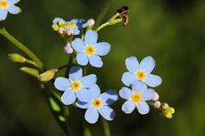 Myosotis scorpioides (palustris) (Blue water forget-me-not) rooted cuttings.