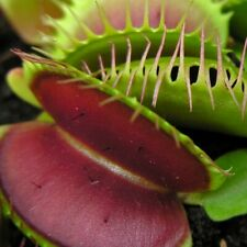 2 Venus Fly Trap Plants from Chelsea Gold Medalist FREE POST, WITH INSTRUCTIONS