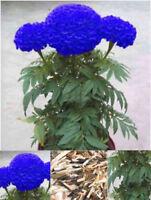200Pcs Rare Blue Marigold Maidenhair Seeds Home Garden Edible Flower Plant BT77