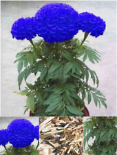 200Pcs Rare Blue Marigold Maidenhair Seeds Home Garden Edible Flower Plant BT77
