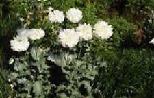 Peony Poppy- (Papaver Paeoniflorum) - White- 100 seeds