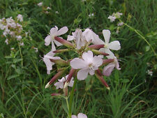 Soapwort - Saponaria Officinalis - 250 Seeds - Scented Native Wildflower