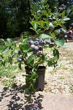 Premier Blueberry Plant Fruit Bearing 2'-3' Blueberries Healthy Roots Plants