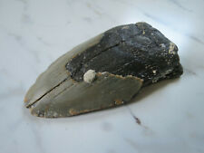 LARGE Fossil Megalodon Shark Tooth, 4 inches!