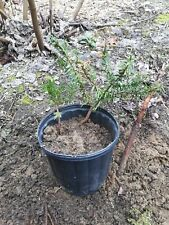 Japanese Upright Yew - 2 Live Plants - Evergreen Privacy Hedge or for bonsai