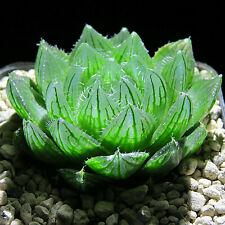 Haworthia cooperi var. picturata, translucent, ca. 5,0 cm große Pflanzen