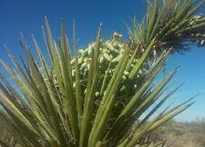 Mojave Yucca Seeds (Yucca Schidigera) - 30seeds -