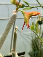 "PEDILANTHUS MACROCARPUS IN A 2"" POT, SUCCULENT PLANT, #1503"