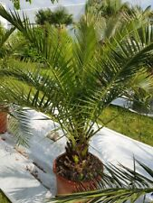 Phoenix Canariensis Palme kanarische Dattelpalme Gesamt: 120-140 cm Stamm: 20 cm