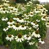 25+ ECHINACEA WHITE SWAN CONE FLOWER FLOWER SEEDS / DEER RESISTANT / PERENNIAL