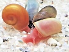 15+Random/Mix color Ramshorn Snails (Baby to Juvenile size) Free Shipping