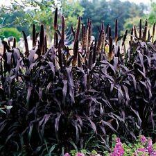 Ornamental Grass~ Purple Majesty~ Live Plants~
