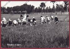 MONDINE 196 MONDARISO RISO RISAIA LAVORI AGRICOLI Cartolina REAL PHOTO