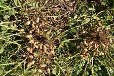 10 Semillas de Cacahuete (Arachis hypogaea) seeds