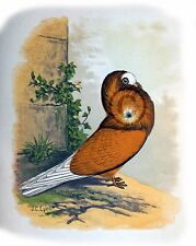 """Fancy Pigeon """" THE JACOBIN PIGEON """" By James C. Lyell Poster Art 13"""" X 19"""""""