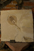 Heliobatis Radians Stingray Fossil from the Green River Formation in Wyoming