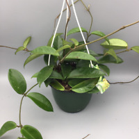 Hoya carnosa krincle wax house plant x 1 well rooted cutting FREE UK DELIVERY