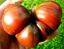 0.1 gram Cherokee Purple Tomato seeds.  OG/OP, No-till, Rediscovered Hierloom!