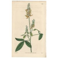 Curtis Botanical Magazine antique 1832 hand-colored engraving Pl 3200 Crotalaria