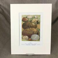 Antico Stampa Uccelli Uova Egg Raccolta Specie Tipi Ca 1895