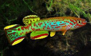 Spawn (Eggs) of Fundulopanchax scheeli (Stunning Killifish)