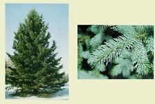 Colorado Blue Spruce.    100 seeds.   trees, seeds