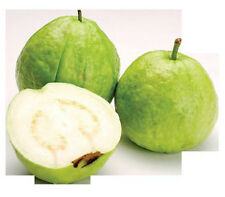 GUAVA tropical fruit Psidium guajava exotic tree edible guayaba 15 SEEDS -WHITE-
