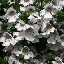 2L Pot Prostanthera Cuneata Alpine Mint Bush Evergreen Shrub Garden Plant