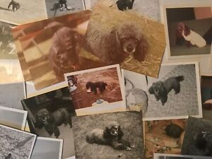 POODLE pet dog photographs collection 40 colour & b/w inc some 1960s polaroids