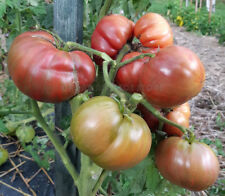Dwarf Project Tomato TENNESSEE SUITED 15 Vegetable Seeds
