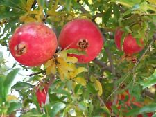 *Healthy* 50 Seeds Pomegranate Fruit Punica Granatum From Canada