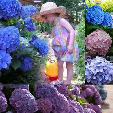 30Pc Beautiful Garden Potted Blue Hydrangea Flower Seeds Plant Home Garden Decor