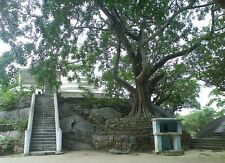 Organic Bo Tree - Bohdi Tree Seed  - Ayurveda Medicine.