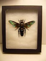Framed Insect Hugh Female Megascolia procer javanensis in Natural Display  LQQK