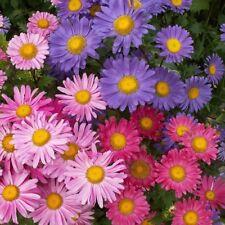 aster daisy flower seeds