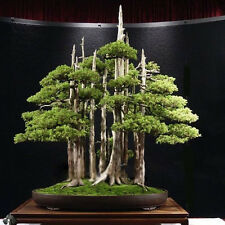 20PCS Seeds Organic Juniper Bonsai Tree Seeds Purify Air Home Office Decor Tool