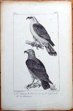 Le Cymindis, Bec en Croc/En Hamecon - 1830s French Bird Print