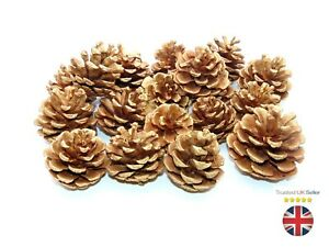 GOLD Natural Pine Cones Approx 60 Per kg Quality Pinecone's Florists Cone UK